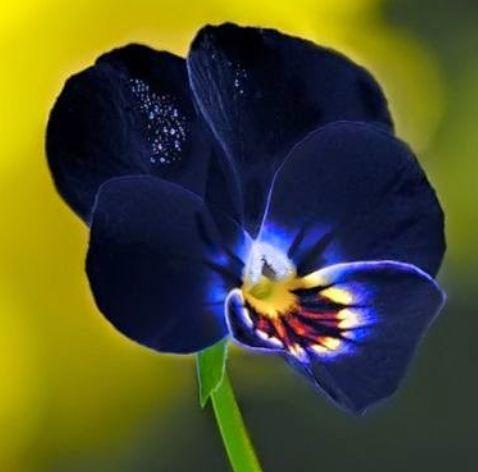 Bunga Pansy Hitam1