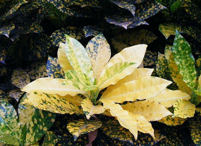 bunga puring4
