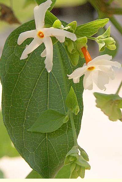 bunga Srigading3