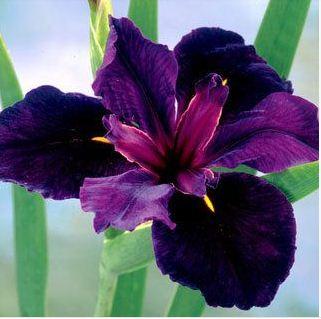 Iris hitam3