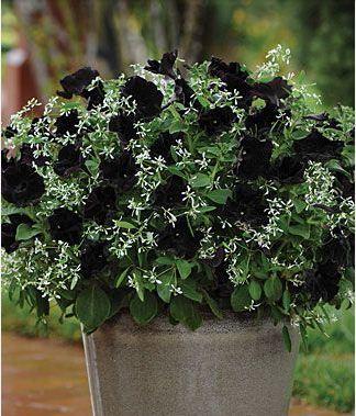 Petunia hitam