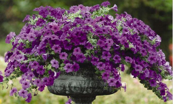 petunia ungu